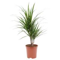 DRACAENA МARGINATA Растение в горшке, Драцена окаймленная, 2 стебля