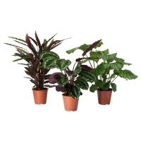 CALATHEA Растение в горшке, Калатея, различные растения