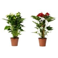 ANTHURIUM Растение в горшке, Антуриум