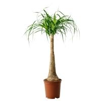 BEAUCARNEA RECURVATA Растение в горшке, Бокарнея