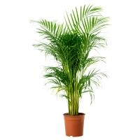 CHRYSALIDOCARPUS LUTESCENS Растение в горшке, Хризалидокарпус желтоватый
