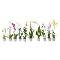ORCHIDACEAE Растение в горшке, Орхидея, различные растения