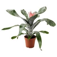 AECHMEA Растение в горшке, Эхмея