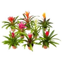 BROMELIACEAE Растение в горшке, Бромелия, различные растения