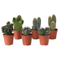 CACTACEAE Растение в горшке, различные растения