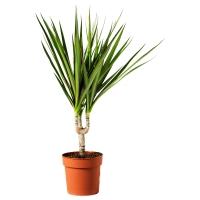 DRACAENA МARGINATA Растение в горшке, Драцена окаймленная, 1 стебель