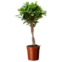 FICUS MICROCARPA MOCLAME Растение в горшке