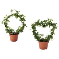 HEDERA HELIX Растение в горшке, Плющ различные растения