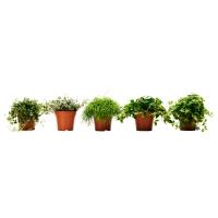 HIMALAYAMIX Растение в горшке, различные растения