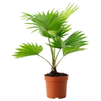 LIVISTONA ROTUNDIFOLIA Растение в горшке, Ливистона