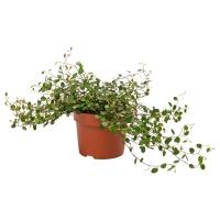 MUEHLENBECKIA Растение в горшке, Мюленбекия