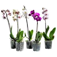 PHALAENOPSIS Растение в горшке, Орхидея