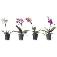 PHALAENOPSIS Растение в горшке, Орхидея, 1 стебель
