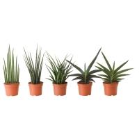 SANSEVIERIA Растение в горшке, различные растения