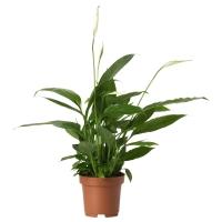SPATHIPHYLLUM Растение в горшке, Спатифиллум