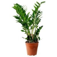 ZAMIOCULCAS Растение в горшке, Замиокулкас