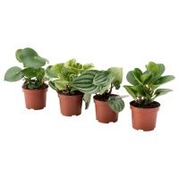 ПЕПЕРОМИА Растение в горшке, различные растения